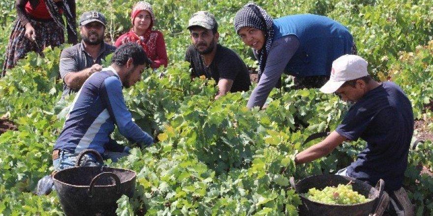 Kilis'te Üzüm hasadı sürüyor