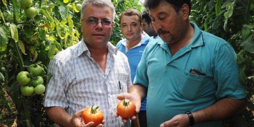 İhracatlık domates yüzleri güldürüyor