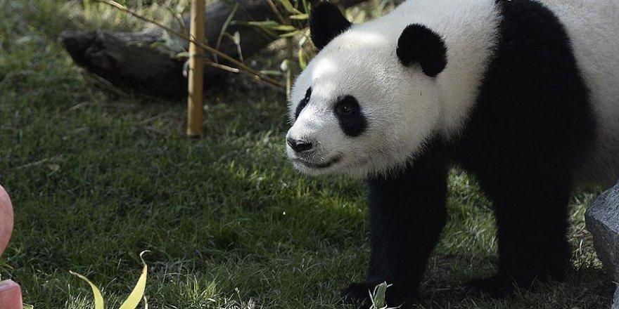 Dev panda listeden çıkarıldı