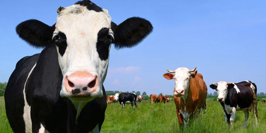 Konya sığır sayısında birinci