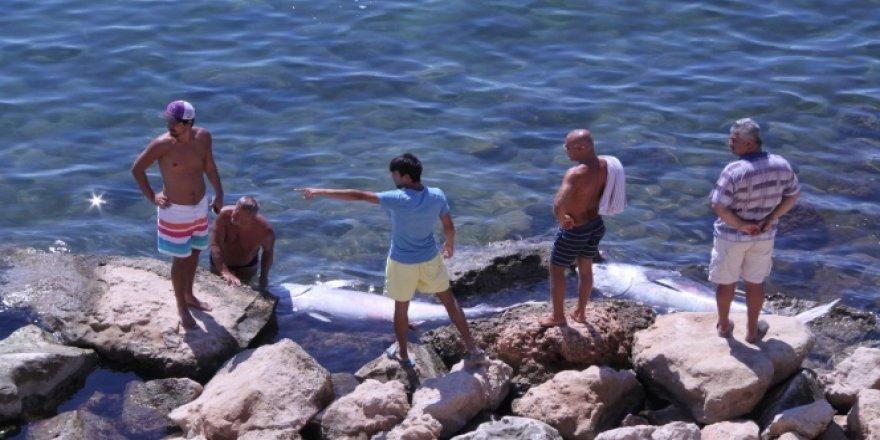 Didim açıklarında 100 kiloluk orkinoslar kıyıya vurdu