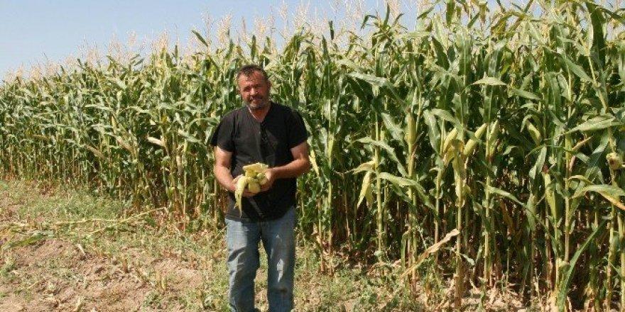 Kulu'da silaj mısırı çiftçinin yüzünü güldürüyor