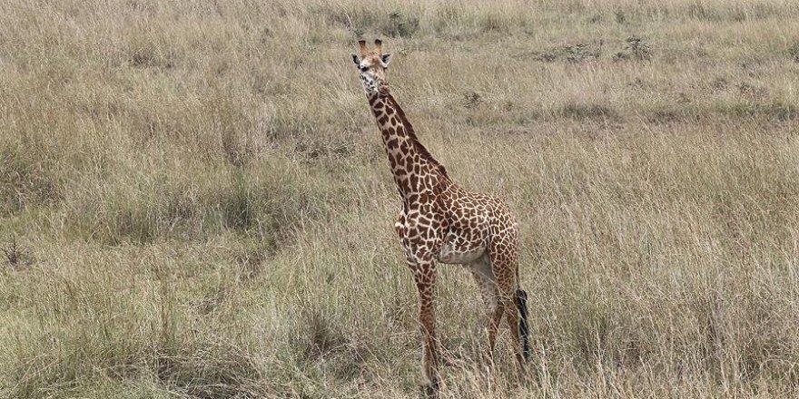 Zürafaların dört türü olduğu keşfedildi
