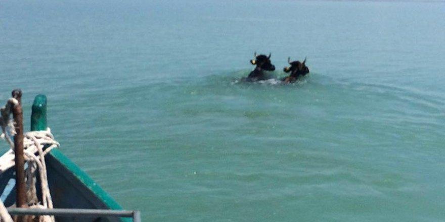 Konya'da kurbanlıklar göle atladı