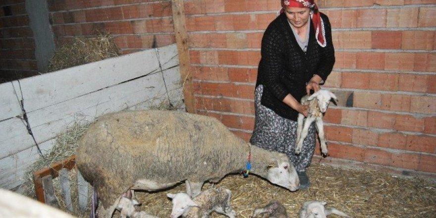 Beşiz doğuran koyun herkesi şaşkına çevirdi
