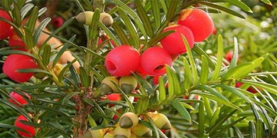 Parktaki ağaçtan meyve yiyen kadın öldü