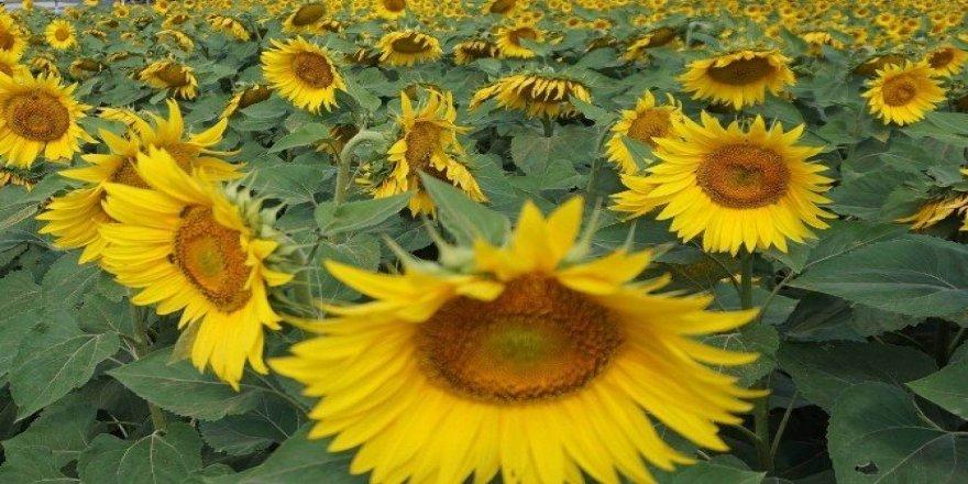 Kırklareli ayçiçeği üretiminde Türkiye 4'üncüsü