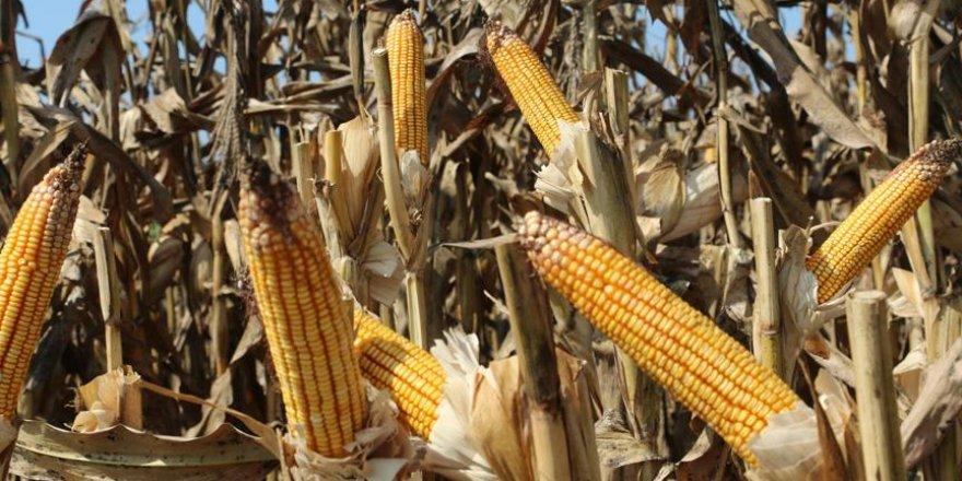 Kanatlı yem sektörüne yeni mısır türü müjdesi