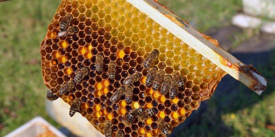 Kraliçe arılar 'ekmek kapısı' oldu