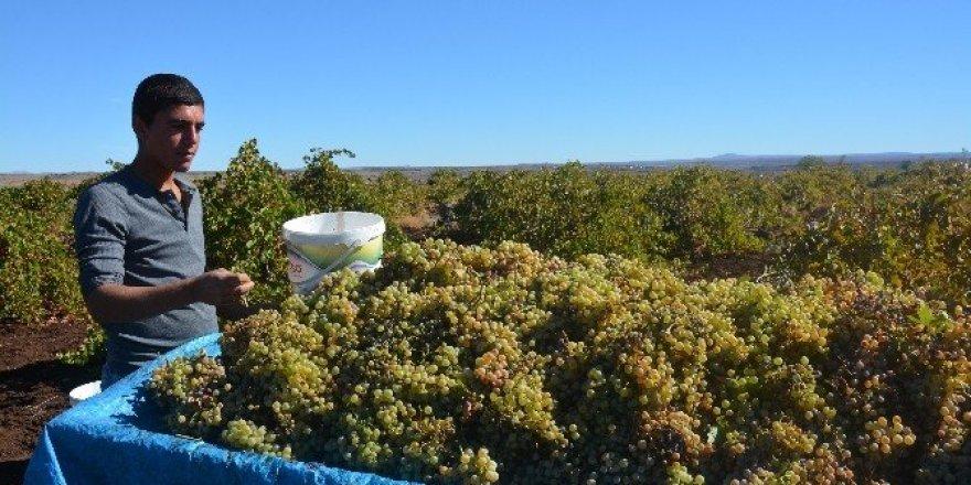 Bağ bozumunda toplanan üzümler, geleneksel yöntemlerle pekmez yapılıyor