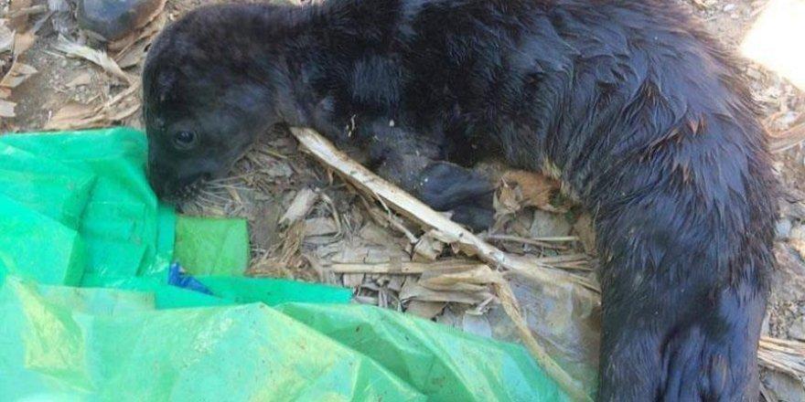 Kıyıya vuran Akdeniz foku yavrusu öldü