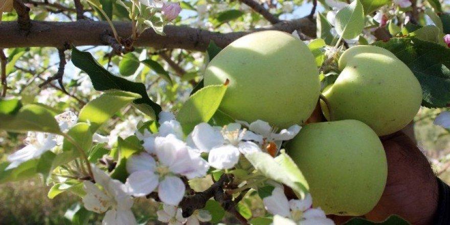 Elma ağaçları hem çiçek açtı hem meyve verdi