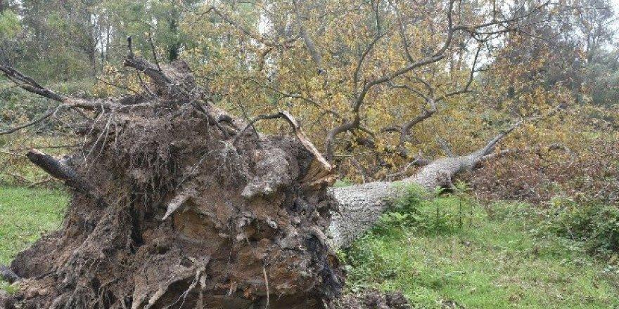 Sinop'ta ağaçlar devrildi