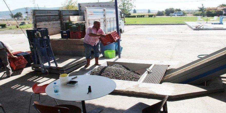 Foça'da erken hasatla ilk zeytinyağı sıkımı