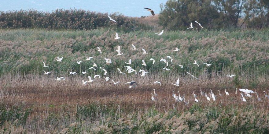 Beyşehir Gölü kıyılarına balıkçıl sürüsü akını