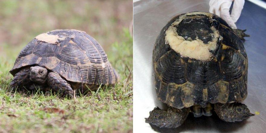 """Yaralı kaplumbağa """"diş dolgusu"""" ile yaşama tutundu"""