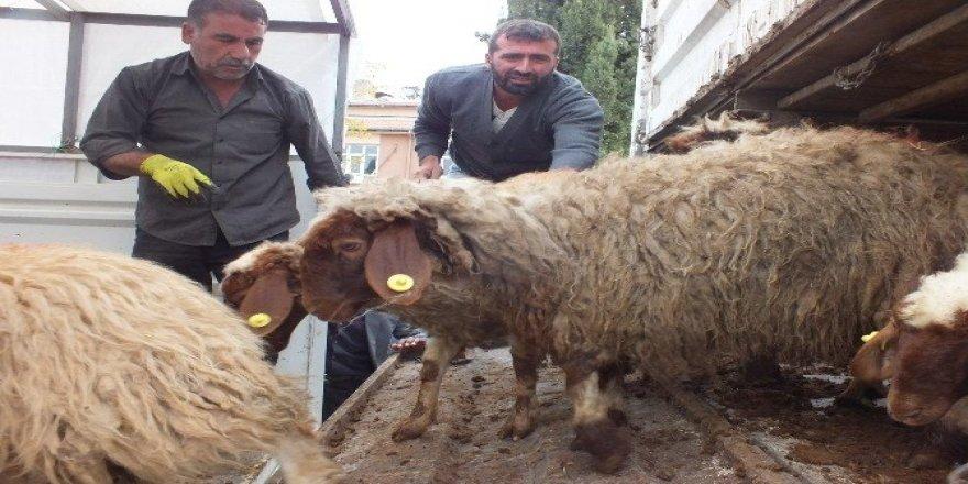Samsatlı genç çiftçilere hayvan dağıtımı yapıldı