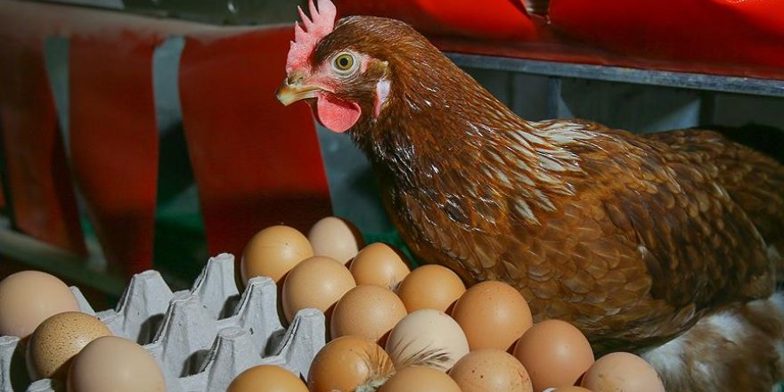Yumurtada 'gezen tavuk' tercihi arttı
