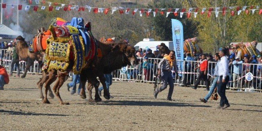 Aydın'da develer sahaya indi