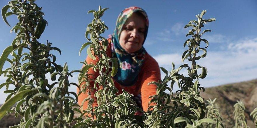 Ganos Dağı eteklerinde ada çayı hasat mesaisi