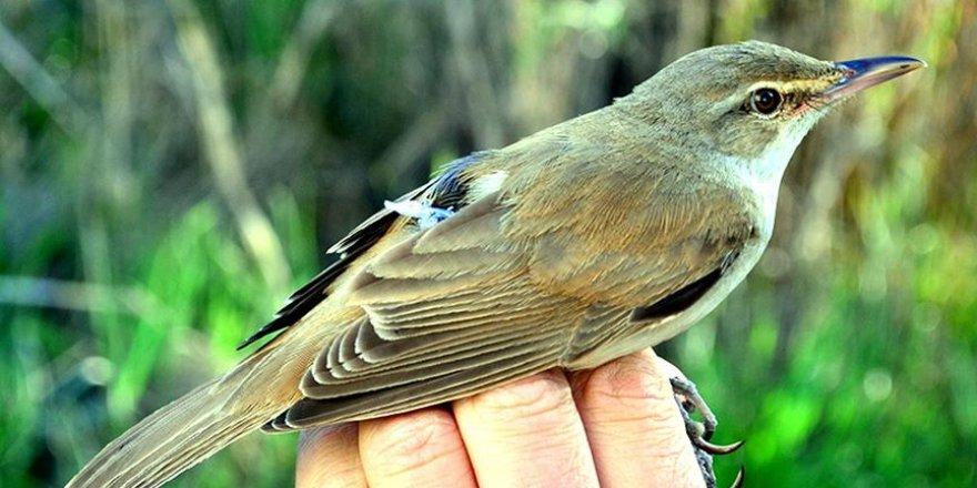 Kamışçın kuşunun 11 bin kilometrelik göç serüveni