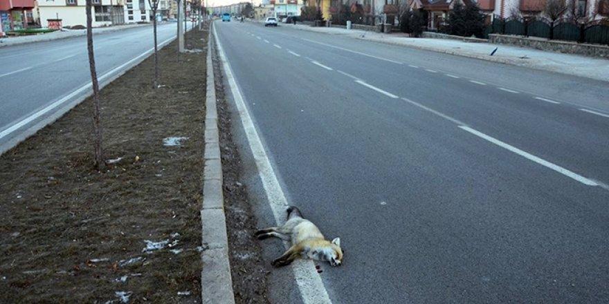 Erzurum'da aracın çarptığı tilki telef oldu
