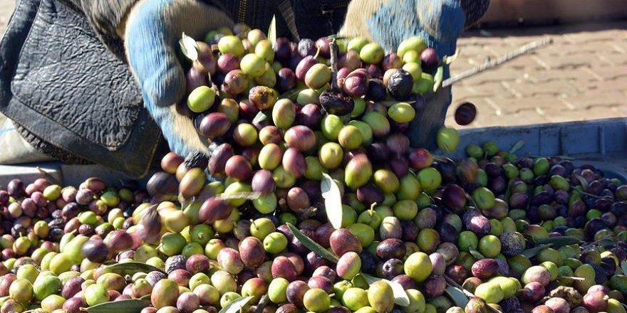 Sonbahar kuraklığı zeytini vurdu