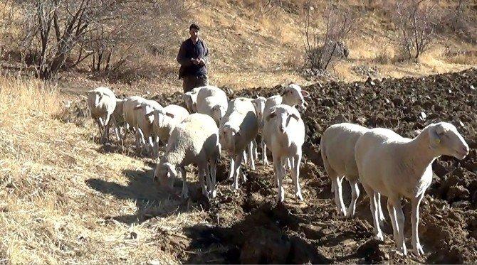Hakkari'de Fransa koyunu dönemi