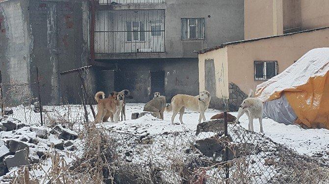 Başıboş köpekler halkın korkulu rüyası oldu