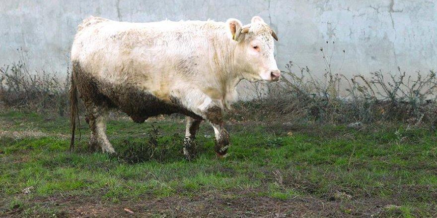 Et açığını 'Charollais' ırkı sığırlar kapatacak