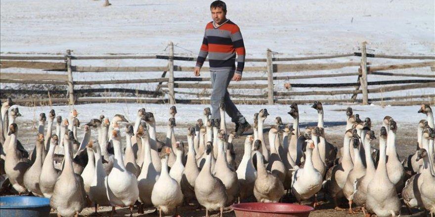 Sağlığı için döndüğü köyünde kaz çiftliği kurdu