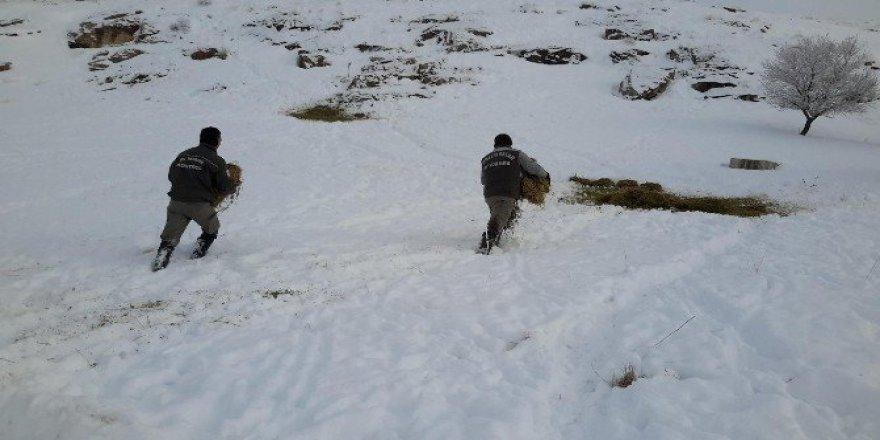 Konya'da Anadolu yaban koyunlarına yem takviyesi