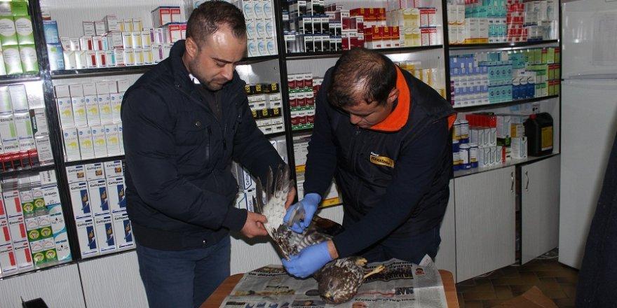 Konya'da yaralı atmaca tedavi altına alındı