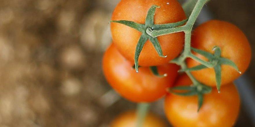 Türk domatesi THY ile havalanacak
