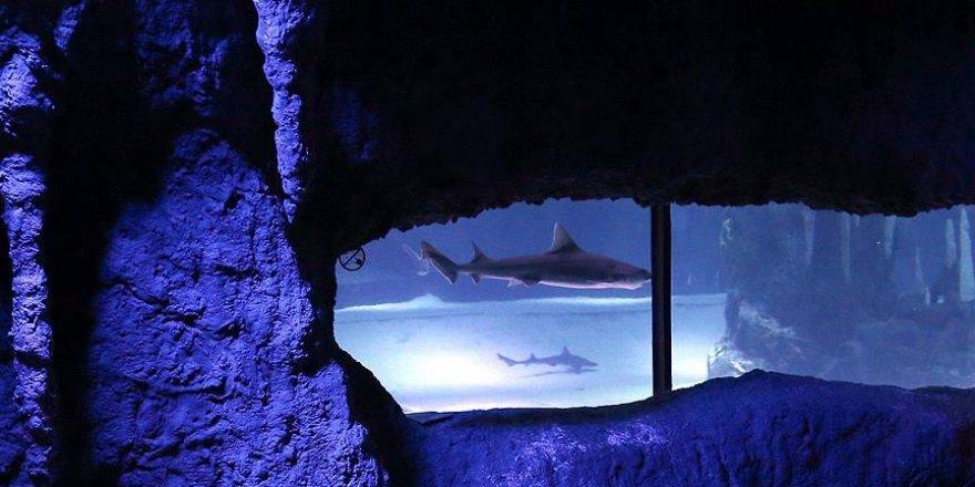 Akvaryumdaki köpek balığı eşeysiz üredi