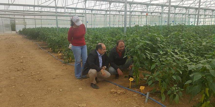 Kış şartlarına dayanıklı biber tohumu geliştiriliyor