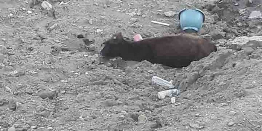 Kulp'ta çamura saplanan ineği kurtarma operasyonu