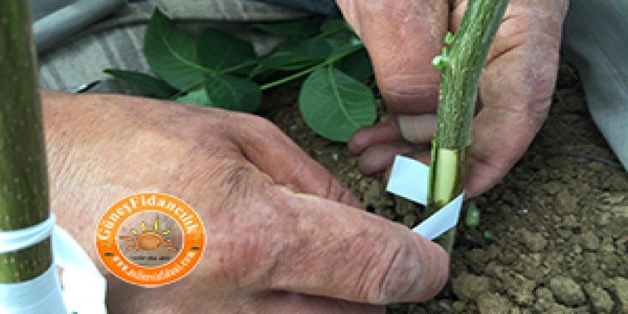 Aşılı Ceviz Fidanı ile Yüksek Verimli Ceviz Bahçesine Ulaşmanın Yöntemleri
