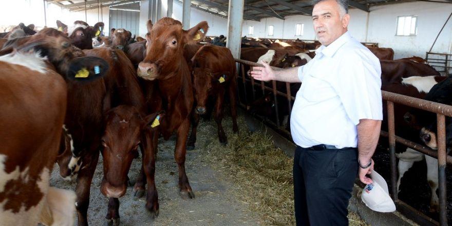 Aksaray'da hayvan üreticilerine yüzde 30 gebe düve desteklemesi