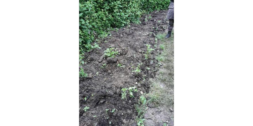 Evinin bahçesinde hint keneviri yetiştiren şahıs yakalandı