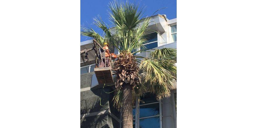 Marmaris'te palmiyeler yaz bakımına alındı