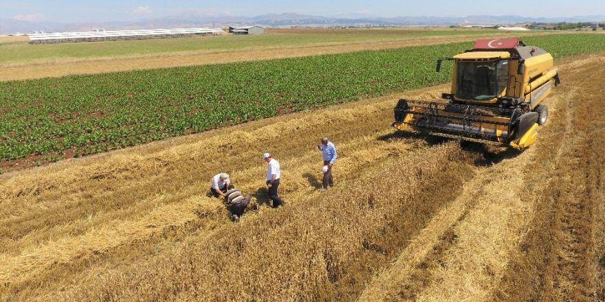 Buğday hasadı devam ediyor