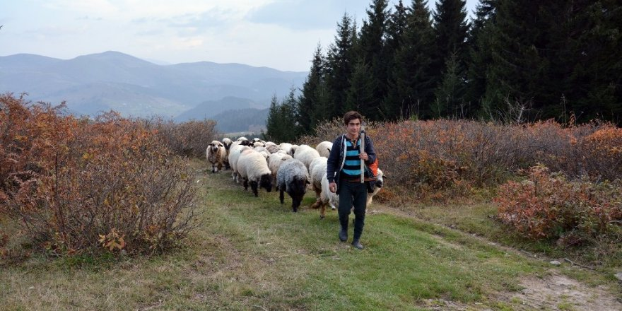 Koyun sürüleri dönüş yolunda