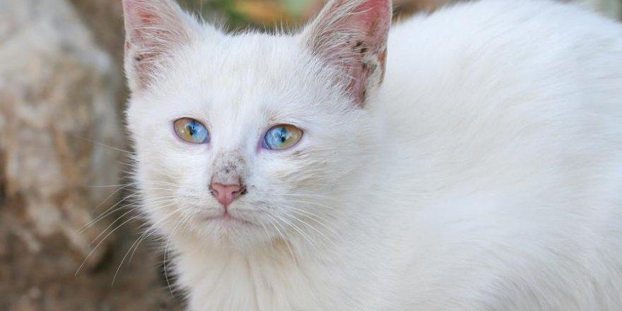 Turquie: Ce Chat de Van, aux yeux à deux couleurs, attire tous les regards
