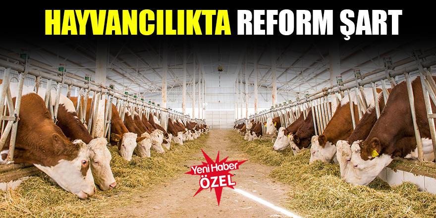 Hayvancılıkta reform şart