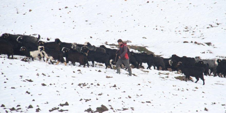 Keçi sürülerinin kar üstündeki yürüyüşü