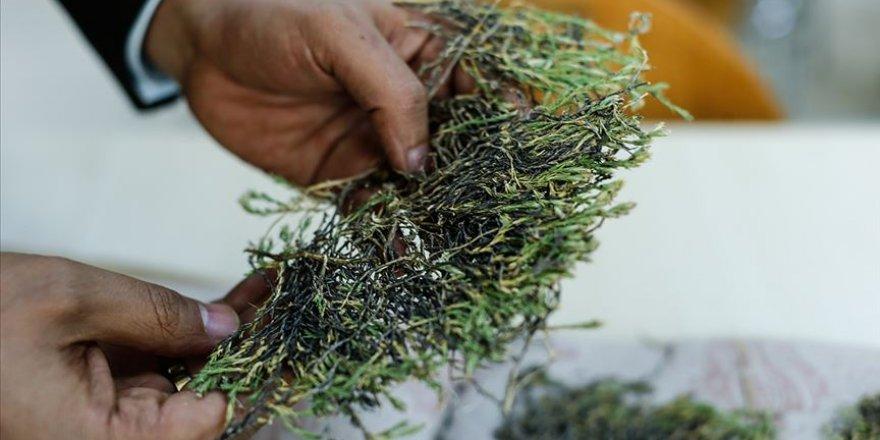Aziz Sancar'ın ismi verilen bitki ilaç olma yolunda