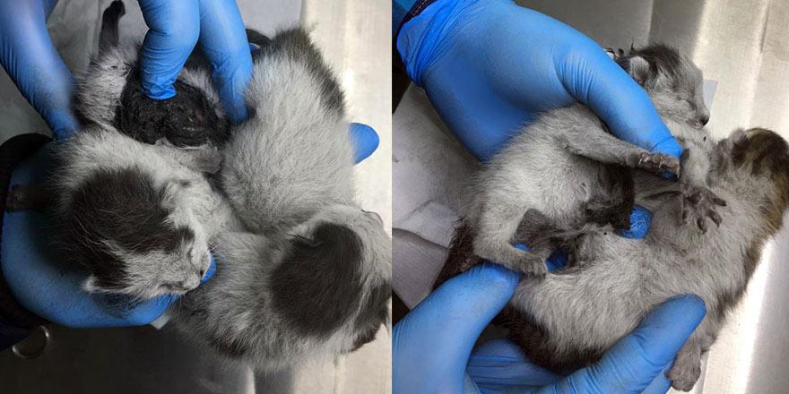 Konya'da yapışık dördüz yavru kediler ameliyatla birbirinden ayrıldı