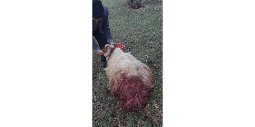 Ahıra giren aç ayı koyunlara saldırdı