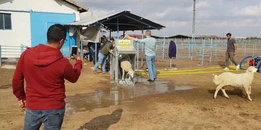 Çiftçinin koyunları yıkanıyor